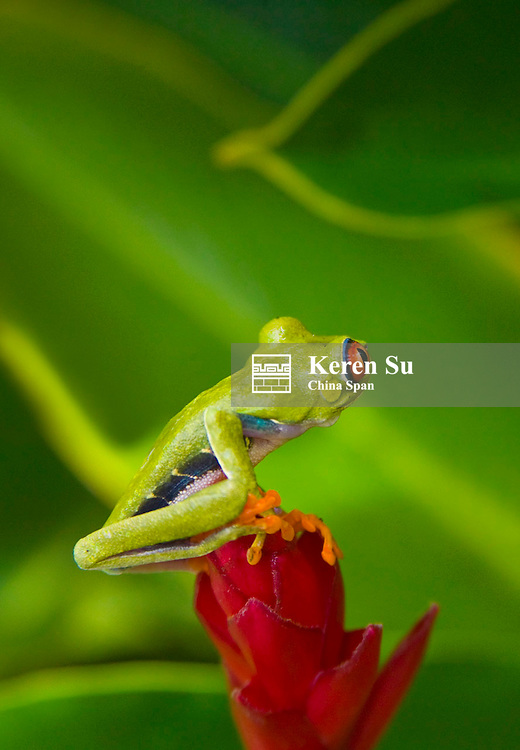 Red-eyed tree frog on red stem of a green plant, Costa Rica