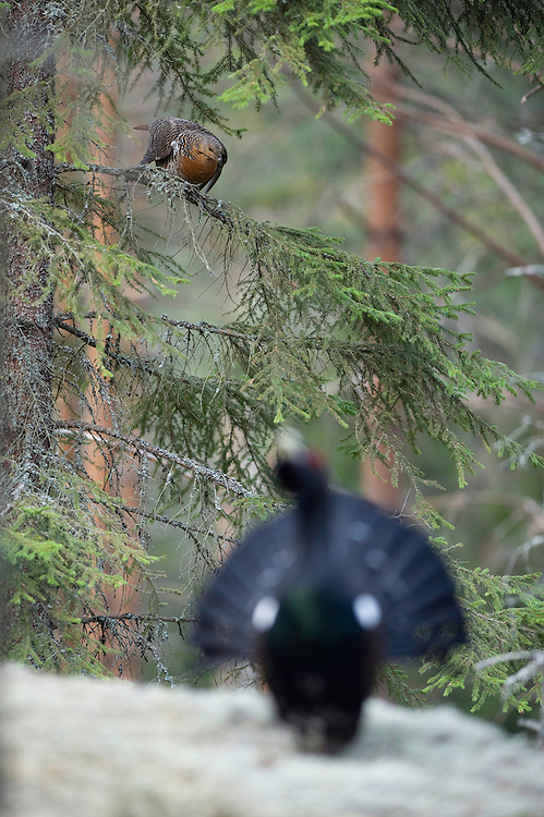 26.04.2009.Capercaillie (Tetrao urogallus) cock displaying in the forest. Female sitting in a tree. Courting. Lekking behaviour..Bergslagen, Sweden.