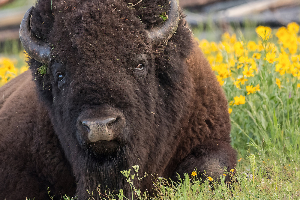 Reminiscent of the gentle bull, Ferdinand, this massive bison bull relaxes in a field of flowers near Yellowstone Lake.