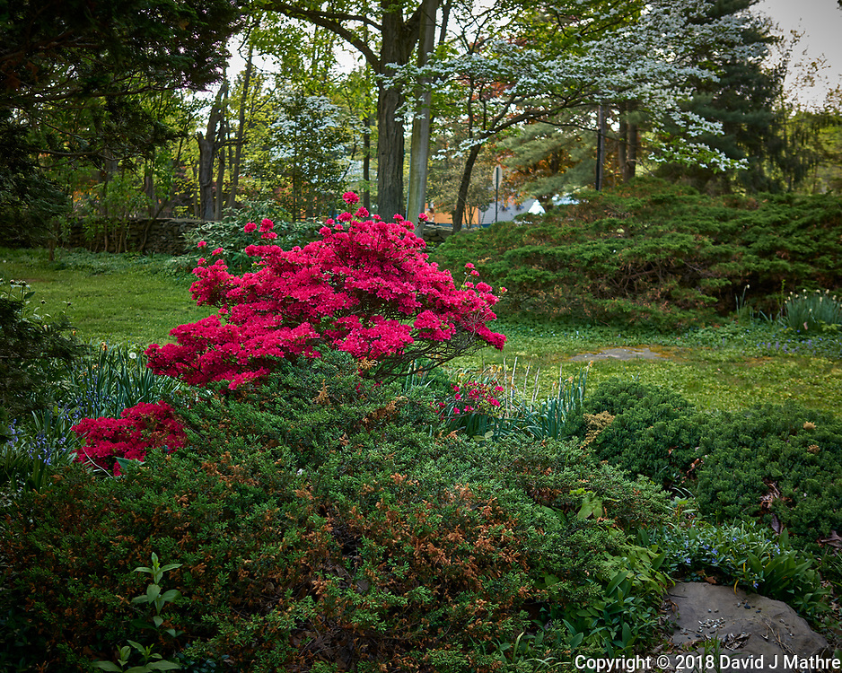 Red Azalea Flowers in a Neighbor's Backyard. Image taken with a Leica CL camera and 23 mm f/2 lens.