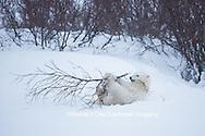 01874-13511 Polar Bear (Ursus maritimus) cub playing with willow branch, Churchill Wildlife Management Area, Churchill, MB