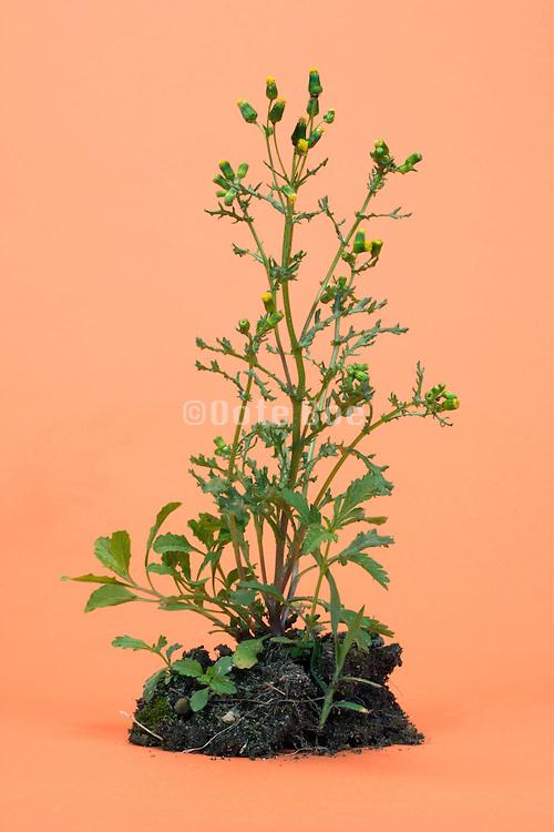 wild flower plant and soil in studio setting