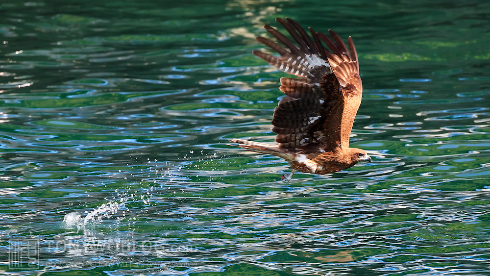 Black-eared kite (Milvus migrans lineatus) grabbing a fish from the water. Kochi prefecture, Japan. トンビ