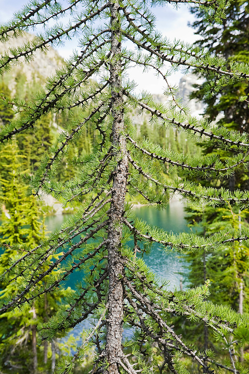 A closeup detail of a young Larch tree in Summer near a subalpine lake in the North Cascades of Washington, USA.