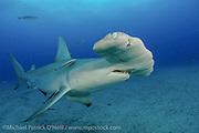 A Great Hammerhead Shark, Sphyrna mokarran, swims offshore Jupiter, Florida, United States, during a shark dive.