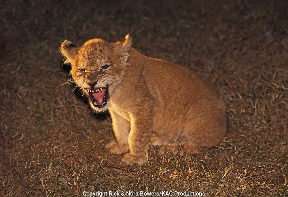 Lion<br /> Panthera leo<br /> Wild Wilderness, Gentry, ARKANSAS, United States<br /> November    Juvenile      Felidae