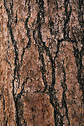 Bark of ponderosa pine (Pinus ponderosa), Sitgreaves National Forest, Arizona
