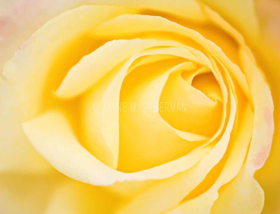 Yellow rose detail of petals.