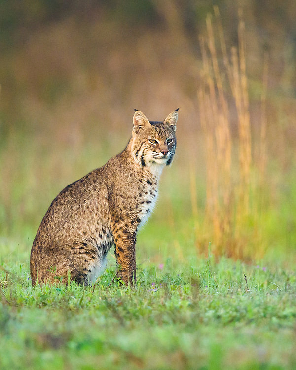 Bobcat, Lynx rufus<br />