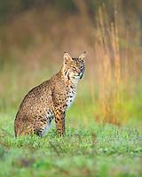 Bobcat, Lynx rufus<br /> Photographer:  David Satterwhite<br /> Property:  Vidauri Ranch / J.F. Welder Heirs<br /> Refugio County
