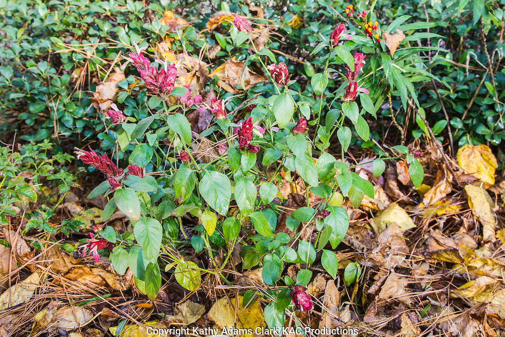 Shrimp plant, in a garden flower bed, with fall leaves, as mulch, around the base, The Woodlands, Texas.
