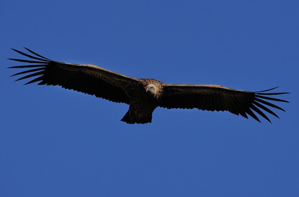 Himalayan griffon vulture, Gyps himalayensis, Yunnan province, China