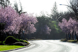 Chinese plum trees are in full blossom along Constitution Avenue during the warm weather in Salinas on President's Day weekend.