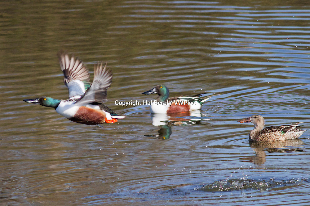 Male Northern Shoveler Duck takes off while male and female watch<br /> (Anas clypeata)<br /> San Joaquin Reserve,California