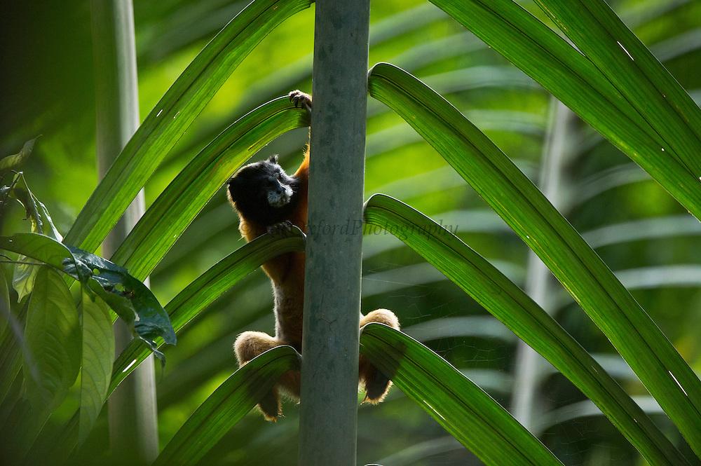 Golden-mantled Tamarin, (Saguinus tripartitus)<br /> Yasuni National Park, Amazon Rainforest<br /> ECUADOR. South America<br /> HABITAT & RANGE: Upper Amazon forest of Yasuni NP, Ecuador.<br /> IUCN CONSERVATION STATUS: Near threatened