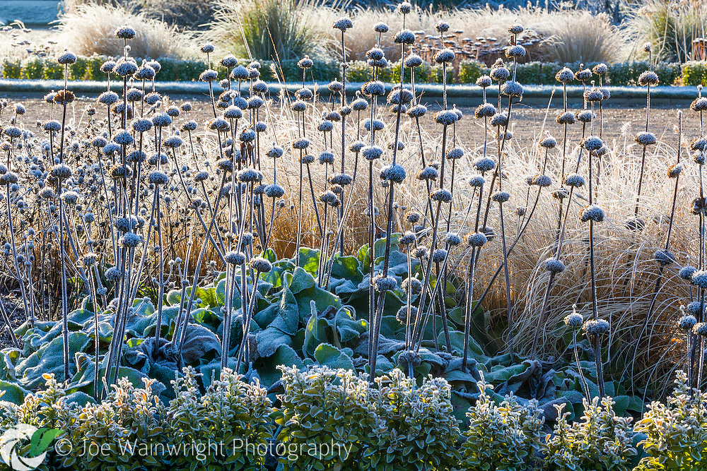 The frosted seed heads of Phlomis russeliana in the Italian Garden at Trentham Gardens, Staffordshire - photographed in January