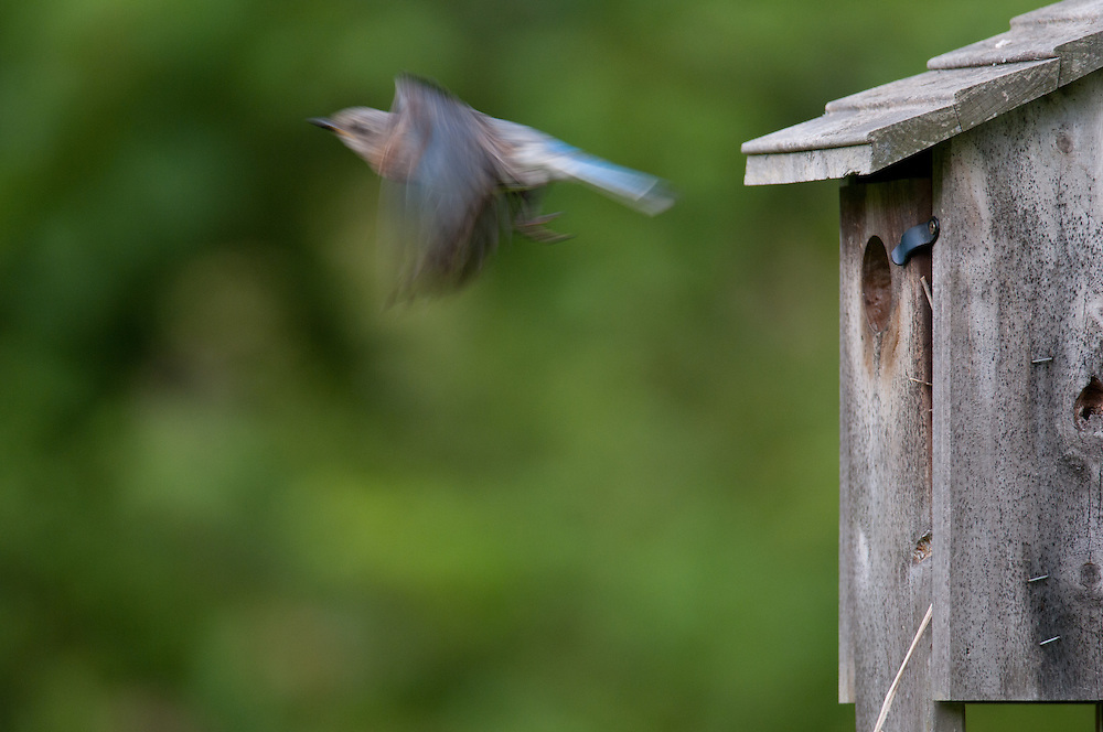 Motion blur of a female eastern bluebird flying out of the nest box in upstate NY.