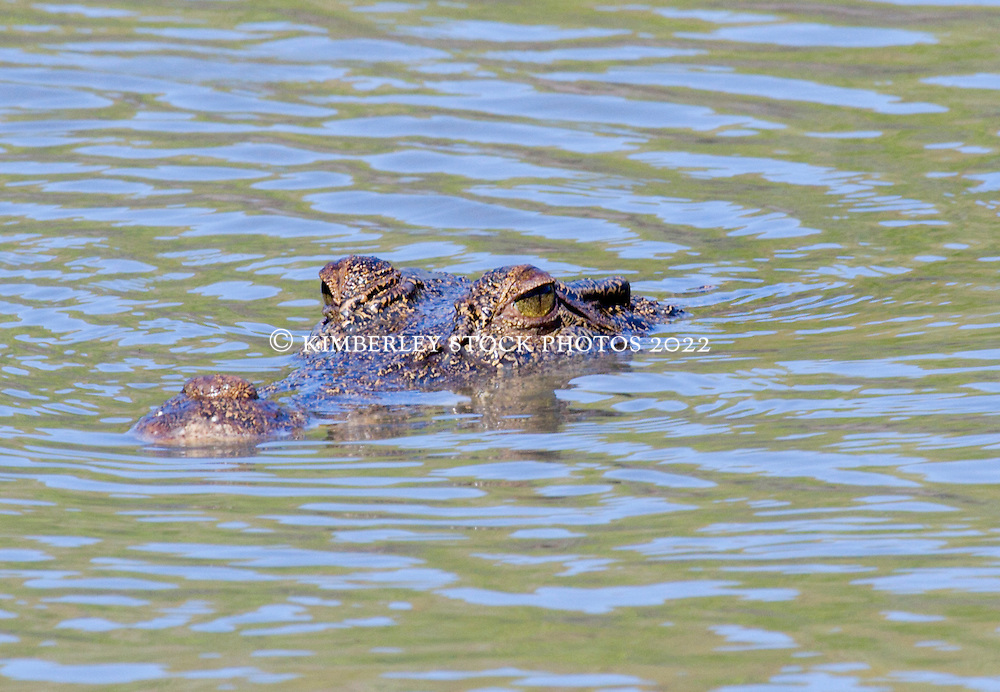 A saltwater crocodile raises its snout above water in the Hunter River.
