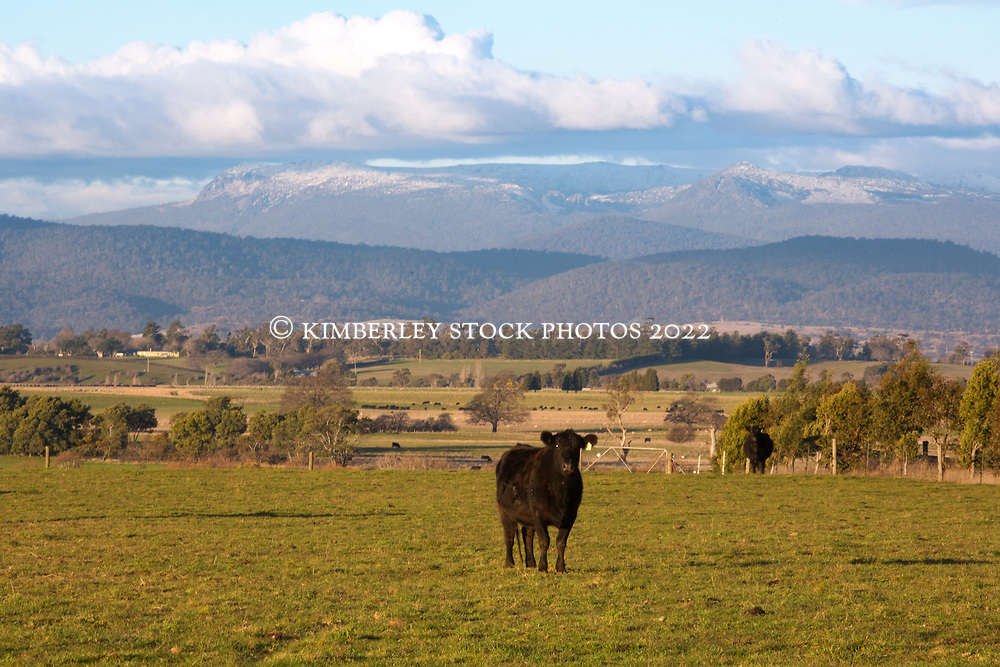 A young Angus heifer with snow visible on Ben Lomond, near Longford, Tasmania