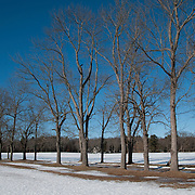Line of old oaks and maples at Appleton Farms, Ipswich, MA