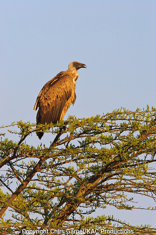 White-backed Vulture (Gyps africanus) perched on top of a tree against a blue sky, Serengeti National Park, Tanzania Africa; near threatened species; old world vulture; scavenger; social species
