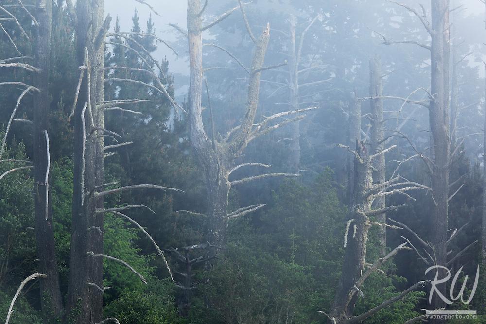 Fog in Forest, Point Reyes National Seashore, California