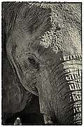 Elephant closeup.  sepia treatment