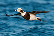 Long-tailed Duck, Clangula hyemalis, male in winter plumage, Barnegat Light, New Jersey
