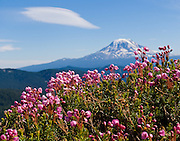 Heather flowers bloom on Goat Ridge in Goat Rocks Wilderness Area, Gifford Pinchot National Forest, Washington, USA. A lenticular (lens shaped) cloud rides an atmospheric wave in the lee of Mount Adams, (12,281 feet / 3743 meters elevation), the second-highest mountain in the state of Washington, a potentially active stratovolcano in the Cascade Range.