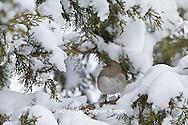 01569-01706 Dark-eyed Junco (Junco hyemalis) in Keteleeri Juniper tree (Juniperus chinensis 'Keteleeri') in winter, Marion Co., IL