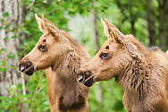 Less than a month old, two newborn moose calves keep watchful eyes on an intruder moose in a residential backyard in Eagle River in Southcentral Alaska.  Spring. Morning.