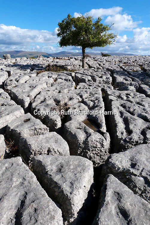 A solitary Midland Hawthorn (Crataegus laevigata) tree, heavily grazed by cattle into a standard, on the limestone pavement at Newbiggin Crags, South Cumbria. This well-developed pavement features rounded-edged blocks known as 'rundkarren', with prominent drainage runnels and small rounded dissolution pits known as 'trittkarren'.<br /> <br /> This pavement affords far-reaching views towards Ingleborough (the violet-hued peak on the horizon at the far left of this photograph) and the hills around Dent, North Yorkshire.<br /> <br /> Limestone pavements were formed during the last Ice Age in the Pleistocene period when moving glaciers scoured bare the surface of the underlying limestone bedrock. The classic pattern of clints (blocks) and grikes (fissures) was produced by the erosive action of overlying soil - such as the moraine deposited by the glacier - and the rainwater that permeated it, enlarging the natural faults in the limestone rock.<br /> <br /> (One of a pair of images in this gallery).<br /> <br /> Date taken: 24 September 2014.