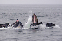 Bubble net feeding Humpback Whales at Morris Reef in Chatham Strait, Southeast Alaska