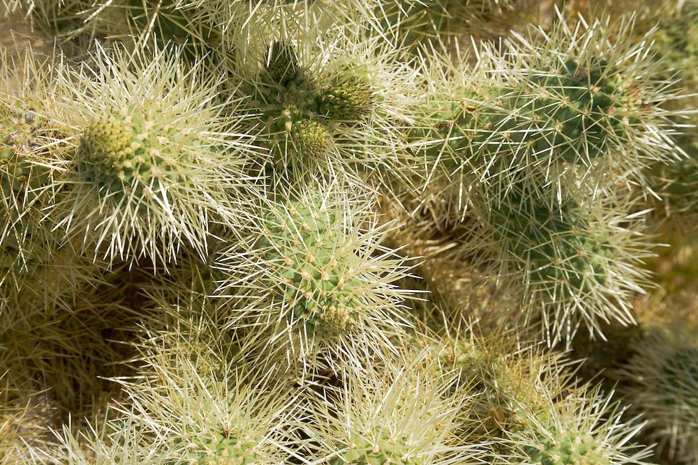 cholla cactus (Opuntia cholla) closeup in the spring at the Anza-Borrego Desert, California, USA