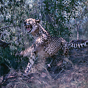 A male cheetah striking out at another captive male cheetah, Loskop Cheetah Sanctuary, Loskop Dam, Mpumalanga, South Africa