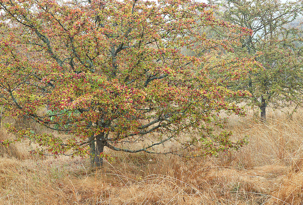 Autumn Hawthorn Trees in Grassy, Foggy Meadow, Anacortes, Washingto