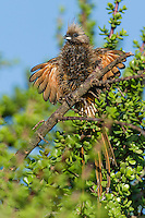 Speckled Mousebird sunning and drying its soaked feathers, Addo Elephant National Park, Eastern Cape, South Africa