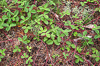 These wild strawberry plants were everywhere while I visited the La Garita Wilderness in Colorado