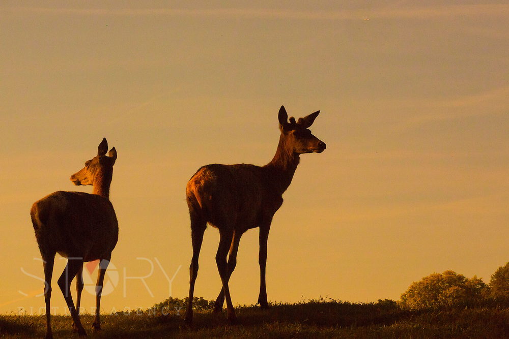 UNITED KINGDOM, Richmond Park: 14 May 2019 <br /> Red deer look out in the early morning sun in Richmond Park this morning as the sun rises on another fine day of weather across The UK. Temperatures are set to reach 19C in the capital and potentially higher in the Midlands.
