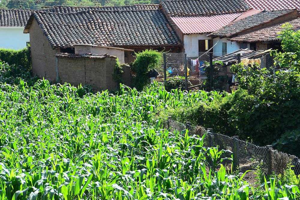 Urban corn field in Samaipata, Santa Cruz, Bolivia