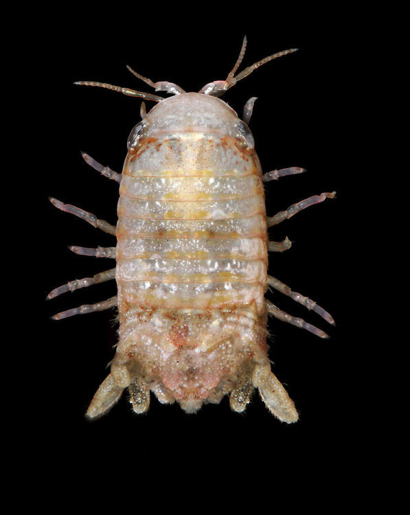 cymodoce truncata