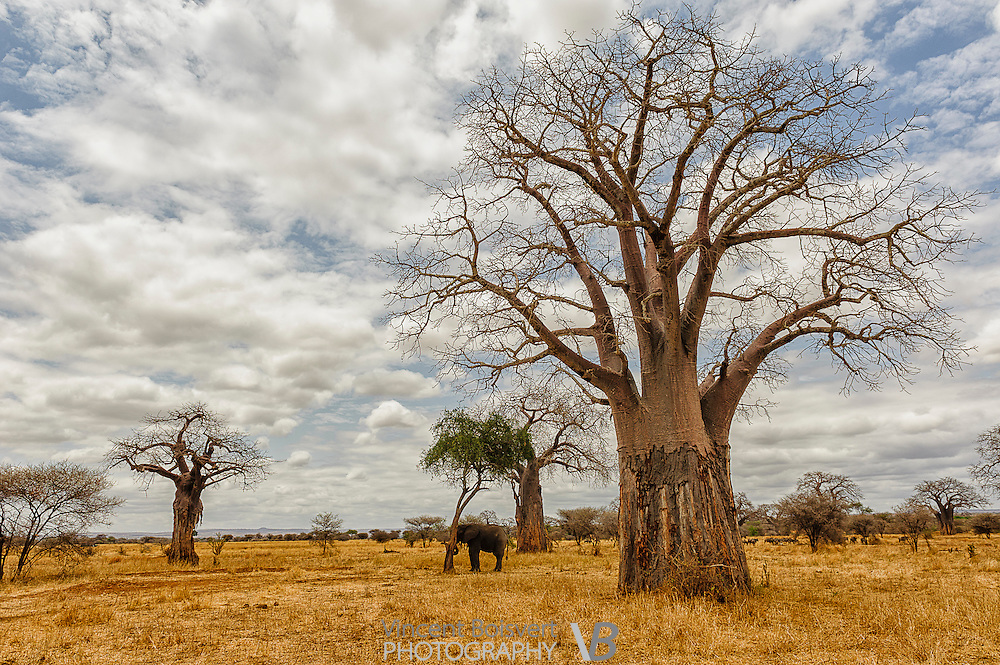 a lonely elephant under a big baobab tree in tarangire national park, Tanzania