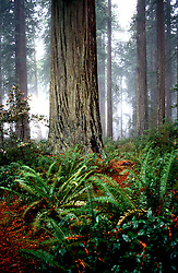 California: Redwood forest environment..Photo copyright Lee Foster, 510/549-2202, lee@fostertravel.com, www.fostertavel.com..Photo #: cared2102