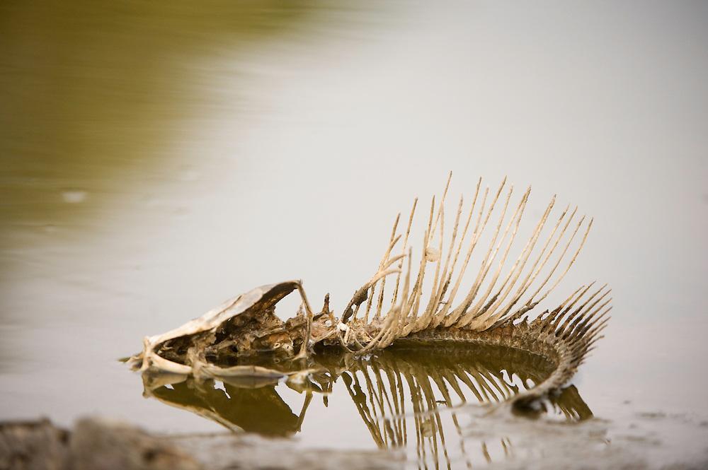Mission: Black Storks River Elbe Germany; Biosphärenreservat Niedersächsische Elbtalaue; Biosphere Reserve Middle Elbe; Fischskelett; skeleton; fishbone