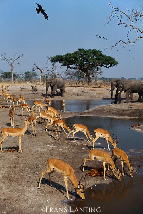 Elephants and impalas at waterhole, Chobe National Park, Botswana