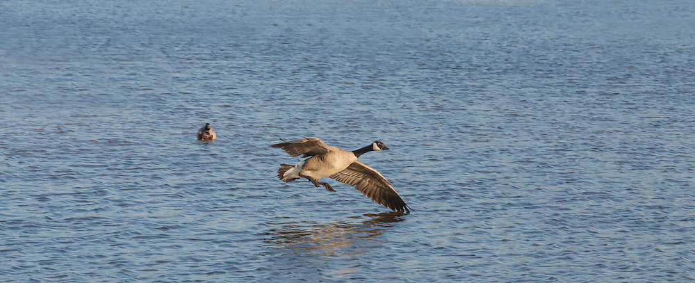 Canada Goose taking off on Burnaby Lake
