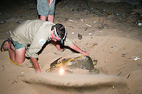 Indigenous ranger Lawrie Booth measures the carapace of a digging turtle at night on a remote beach on the west coast of Cape York in far northern Australia..