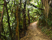 Queen Charlotte Track proceeds through ancient forest on South Island, New Zealand