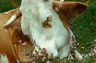 DEU, Deutschland: Hausrind (Bos taurus), schlafende Kuh auf einer Bergwiese, Rasse: Fleckvieh, Simmentaler, Berchtesgadener Land, Süddeutschland | DEU, Germany: Domestic cattle (Bos taurus), sleeping cow on pasture, race: Simmental Cattle, Berchtesgadener Land, Bavaria, Southern Germany |