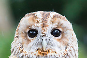 UNITED KINGDOM, London: 30 July 2019<br /> Alberta the Owl poses for a picture at London Zoo's new Animal Adventure Playpark where the public can meet and pet Alberta as well as other animals. The new and exciting nature-inspired adventure-play destination officially opens to the public tomorrow on July 31st 2019.<br /> Credit: Rick Findler / Story Picture Agency